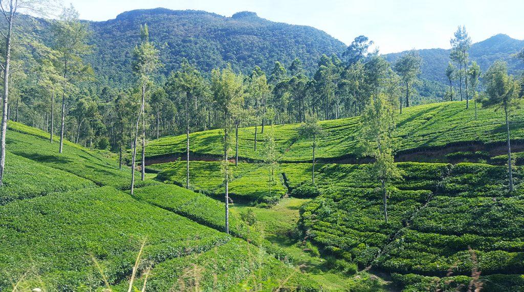 champs de thés nuwara eliya