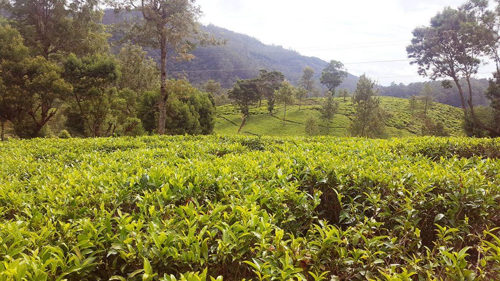 champs de thé nuwara eliya