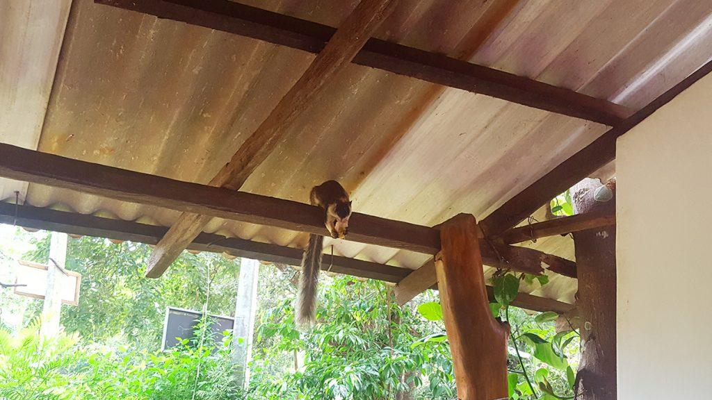 ecureuil geant sri lanka