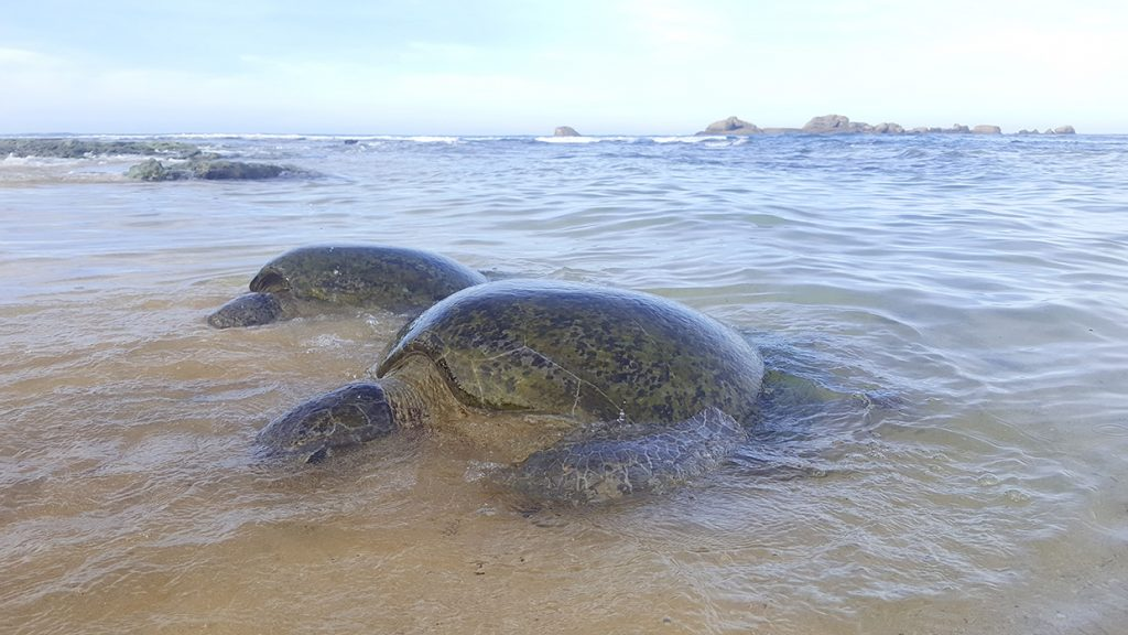 hikkaduwa turtles