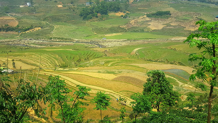 rice fields sapa